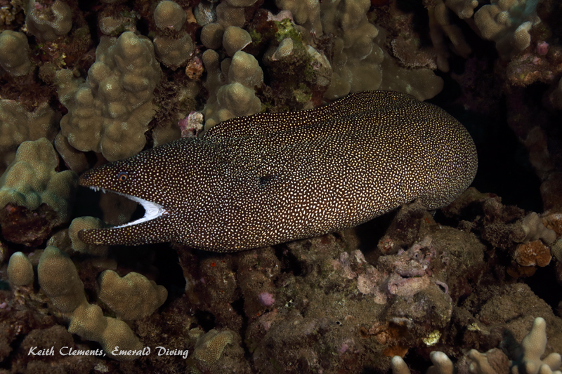 Moray_White-Mouth_AirportMaui16_5500