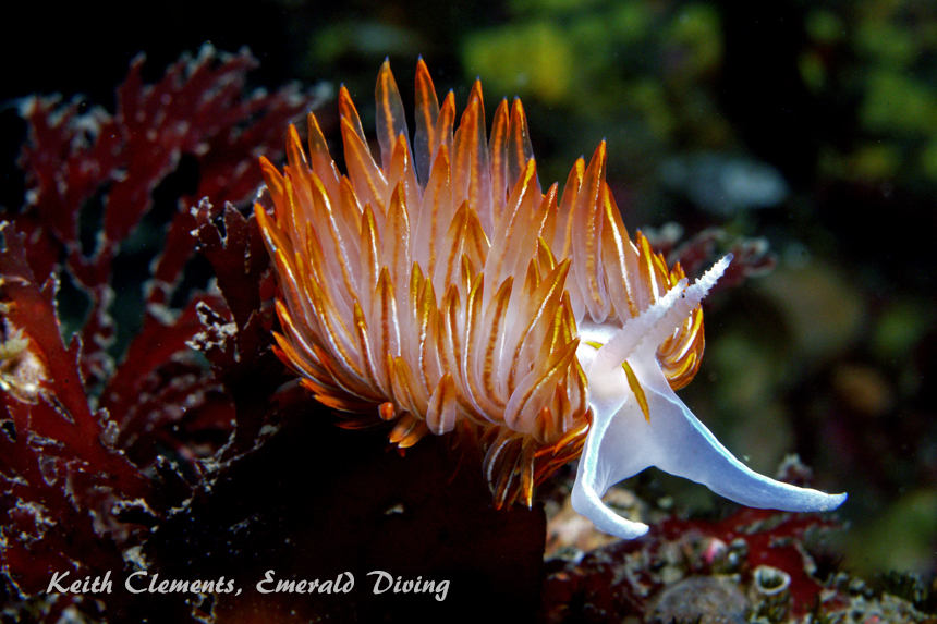 Opalescent Nudibranch