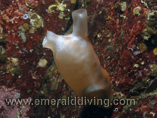 Pacific Sea Peach