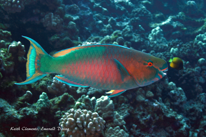Parrotfish_Bullethead_BackwallMaui16_5130