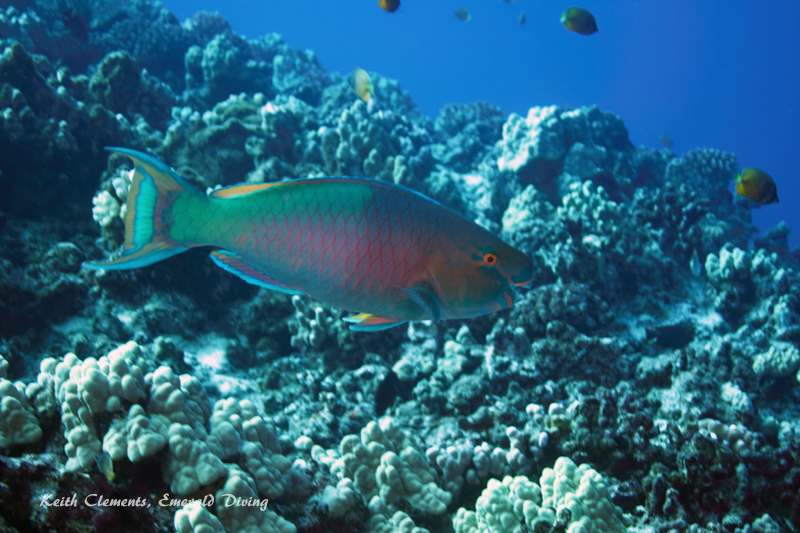 Parrotfish_Bullethead_BackwallMaui16_5131