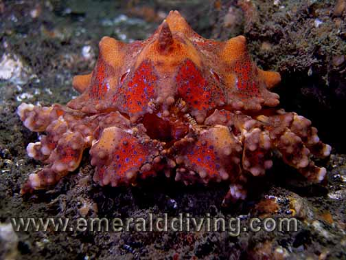 Puget Sound King Crab - Juvenile