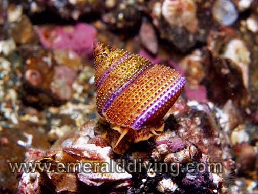 Purple Ringtop Snail
