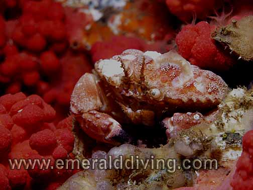 Pygmy Rock Crab