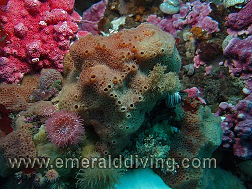 Encrusting Sponge Sponge Species Index