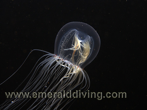 Red-Eyed Jellyfish