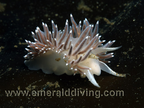 Red Flabellina
