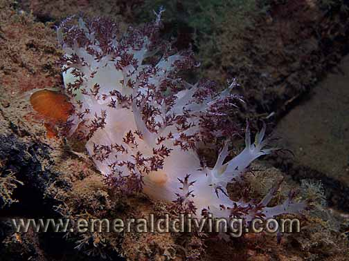 Red Nudibranch