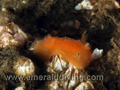 Red_Sponge_Nudibranch