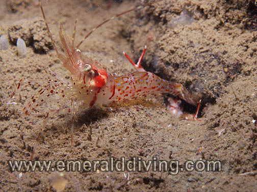 Rough Patch Shrimp