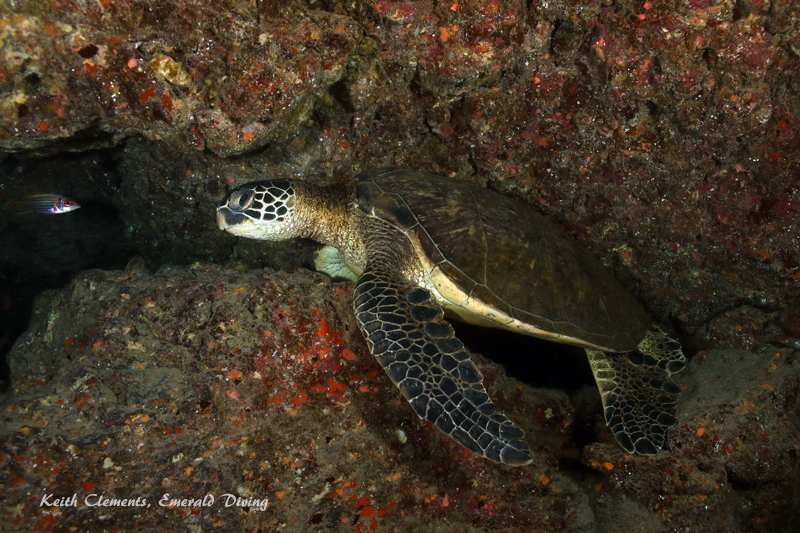 Sea-Turtle_Green_MakenaHI_10112