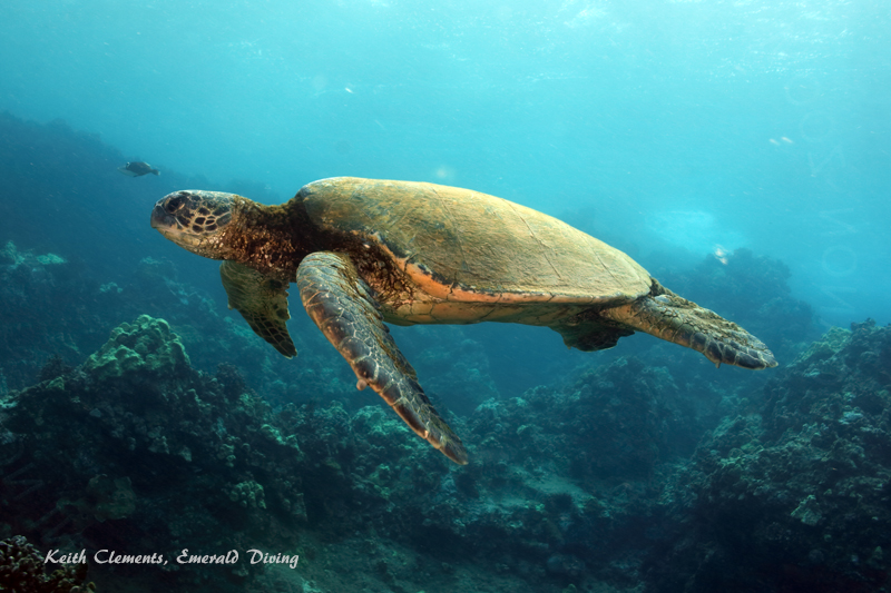 Sea-Turtle_Green_MakenaHI_10125
