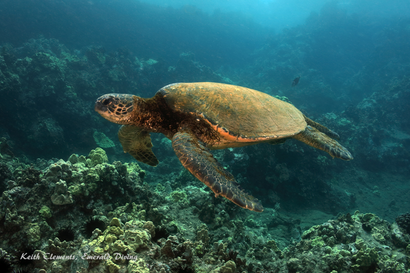 Sea-Turtle_Green_MakenaHI_10127