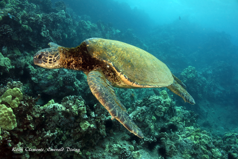 Sea-Turtle_Green_MakenaHI_10129