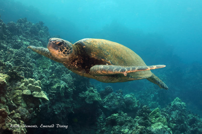 Sea-Turtle_Green_MakenaHI_10130