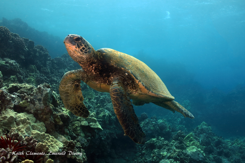 Sea-Turtle_Green_MakenaHI_10131