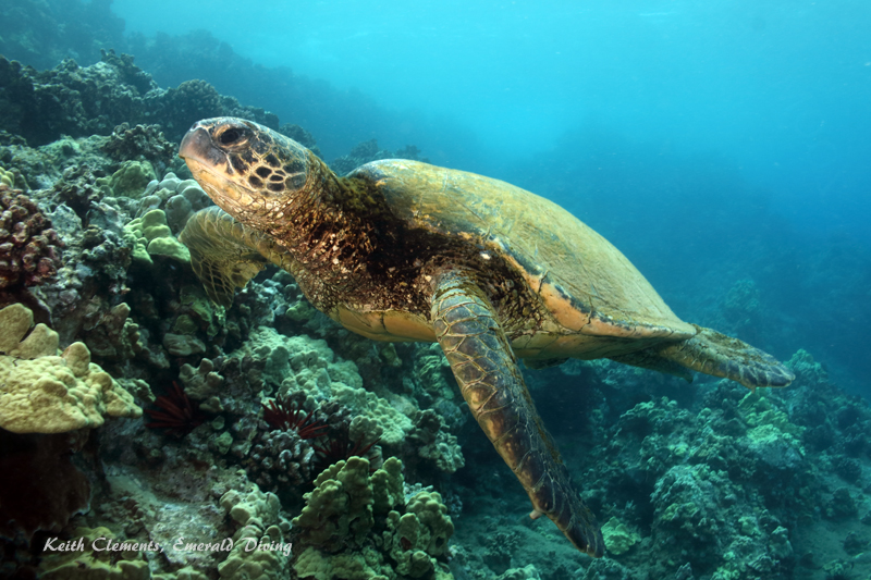 Sea-Turtle_Green_MakenaHI_10132