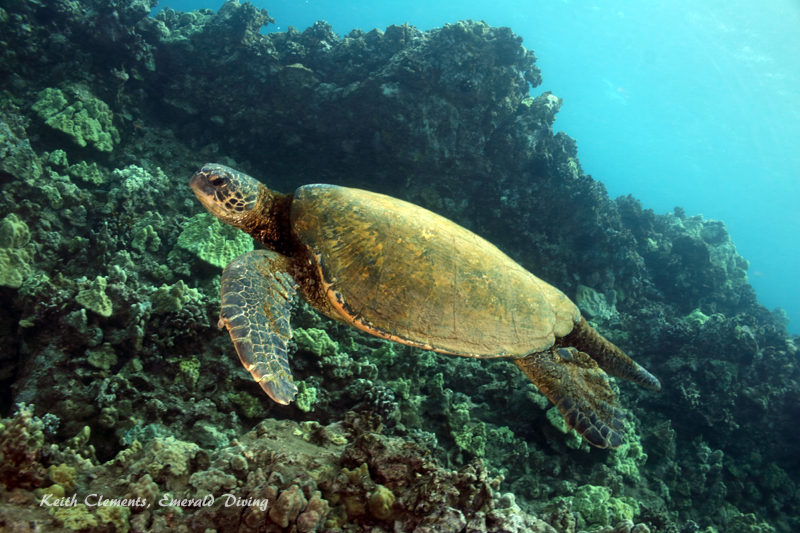 Sea-Turtle_Green_MakenaHI_10133