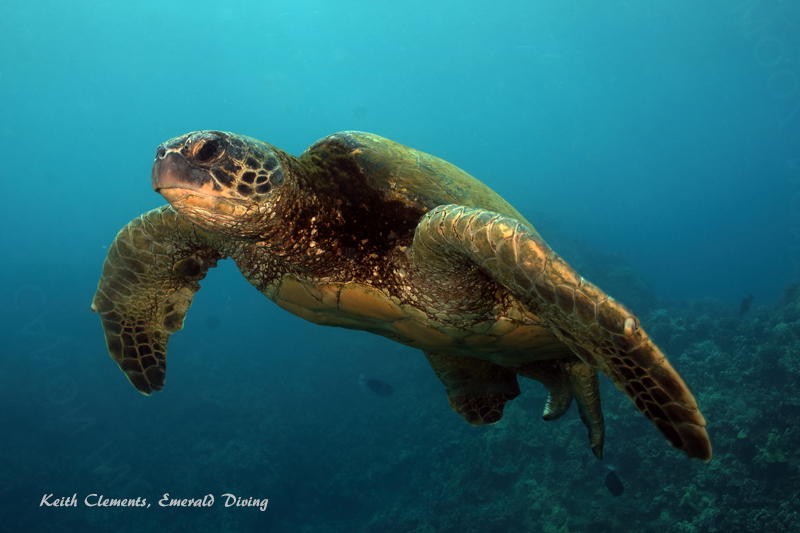 Sea-Turtle_Green_MakenaHI_10136