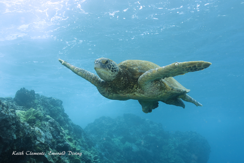 Sea-Turtle_Green_MakenaHI_10157