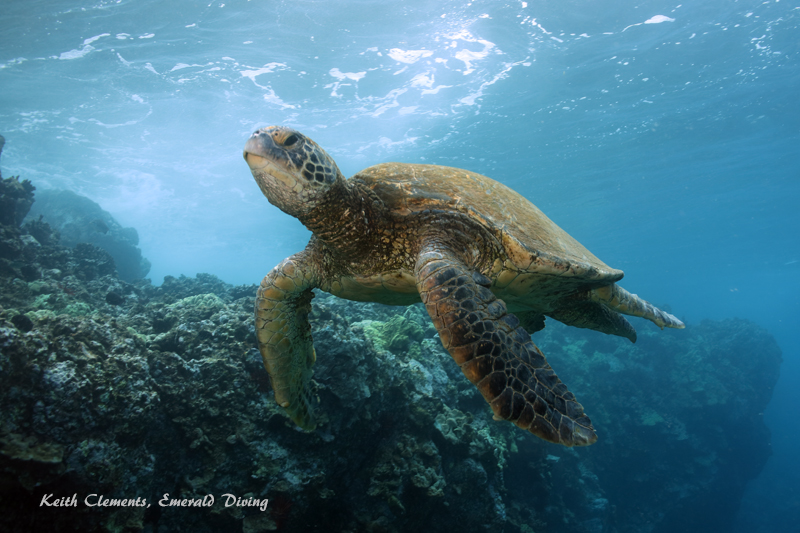 Sea-Turtle_Green_MakenaHI_10158