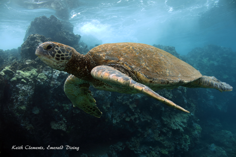 Sea-Turtle_Green_MakenaHI_10159