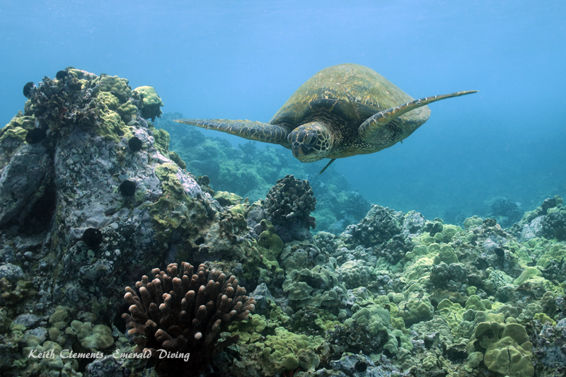 Sea-Turtle_Green_MakenaHI_10162