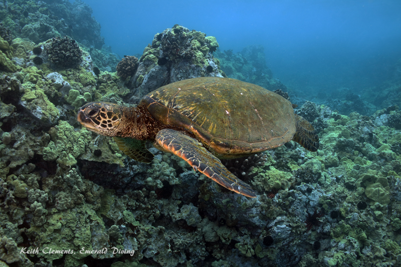 Sea-Turtle_Green_MakenaHI_10163