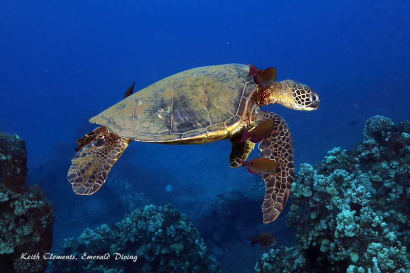 Sea-Turtle_Green_MalaWharfHI_10000