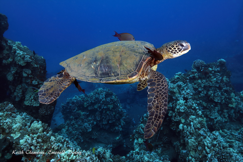 Sea-Turtle_Green_MalaWharfHI_10001