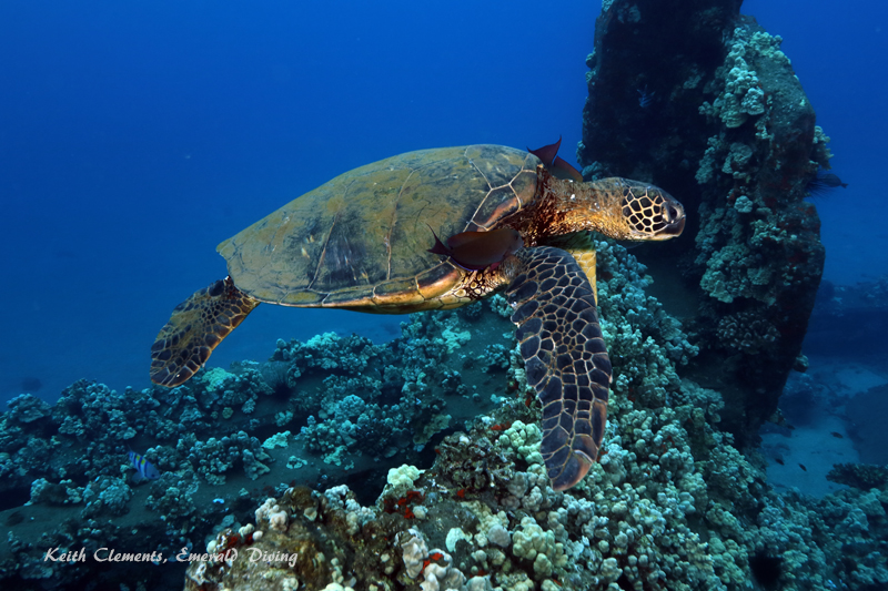 Sea-Turtle_Green_MalaWharfHI_10002