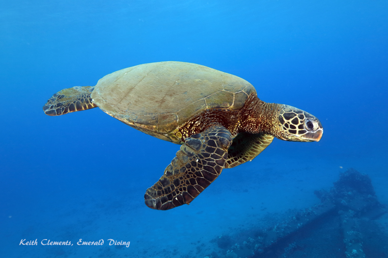 Sea-Turtle_Green_MalaWharfHI_10005