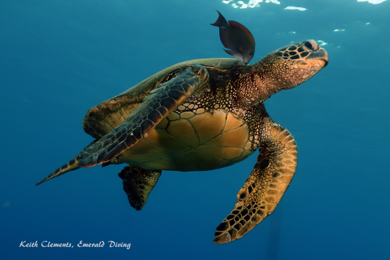 Sea-Turtle_Green_MalaWharfHI_10007