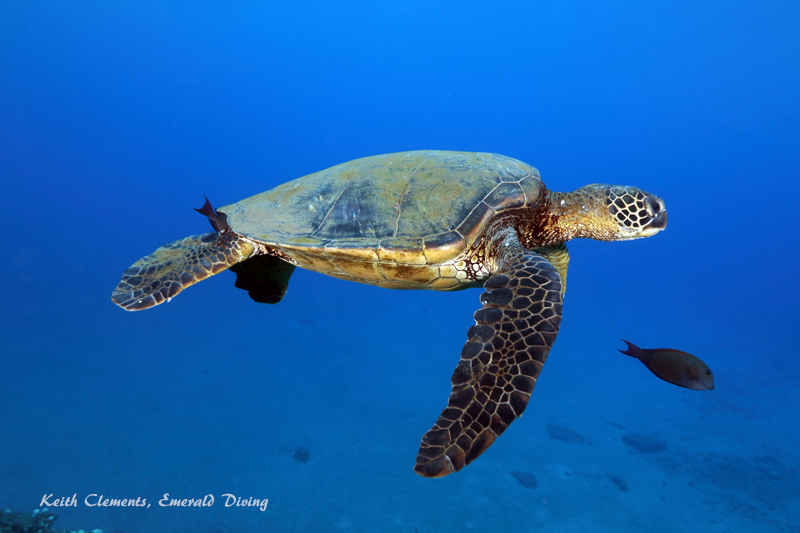 Sea-Turtle_Green_MalaWharfHI_10011