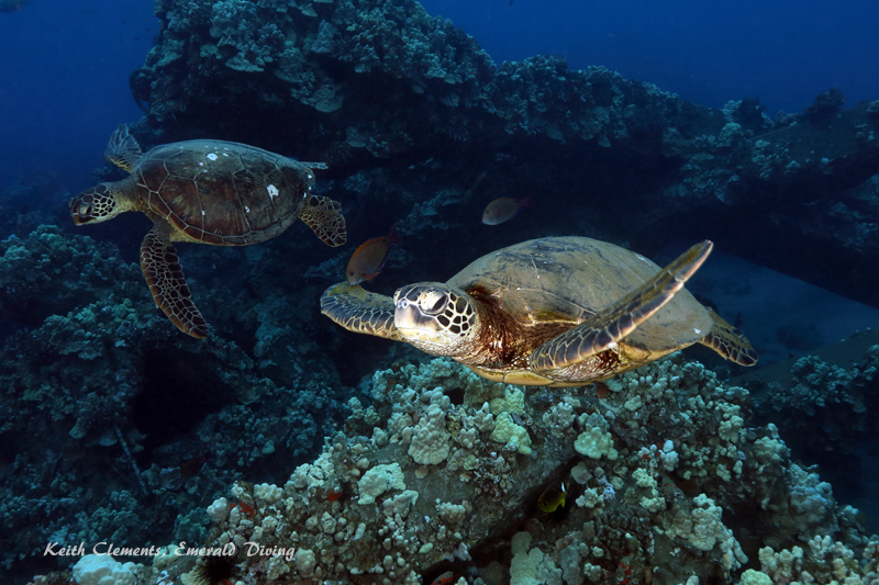 Sea-Turtle_Green_MalaWharfHI_10012