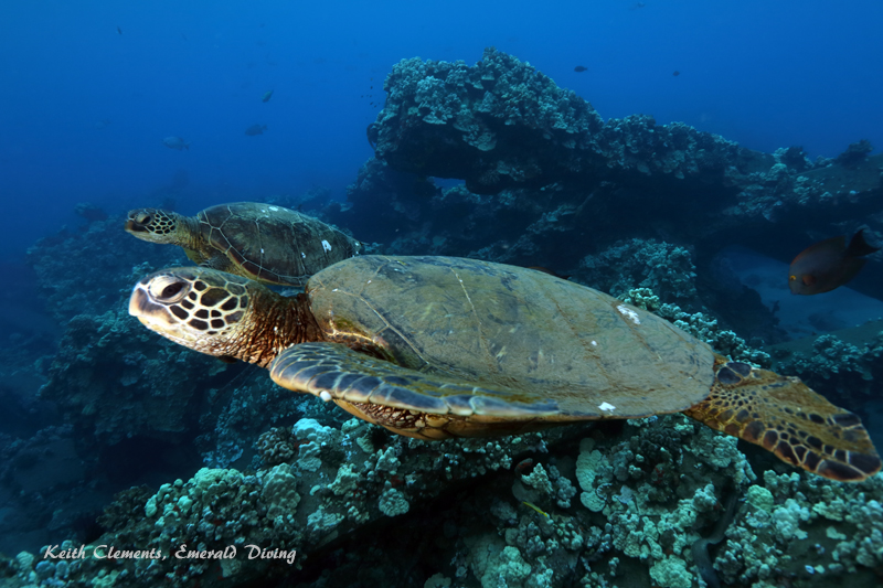 Sea-Turtle_Green_MalaWharfHI_10013