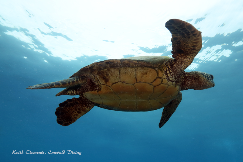 Sea-Turtle_Green_MalaWharfHI_10015