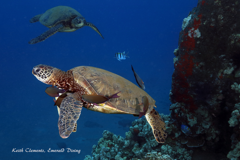 Sea-Turtle_Green_MalaWharfHI_10016