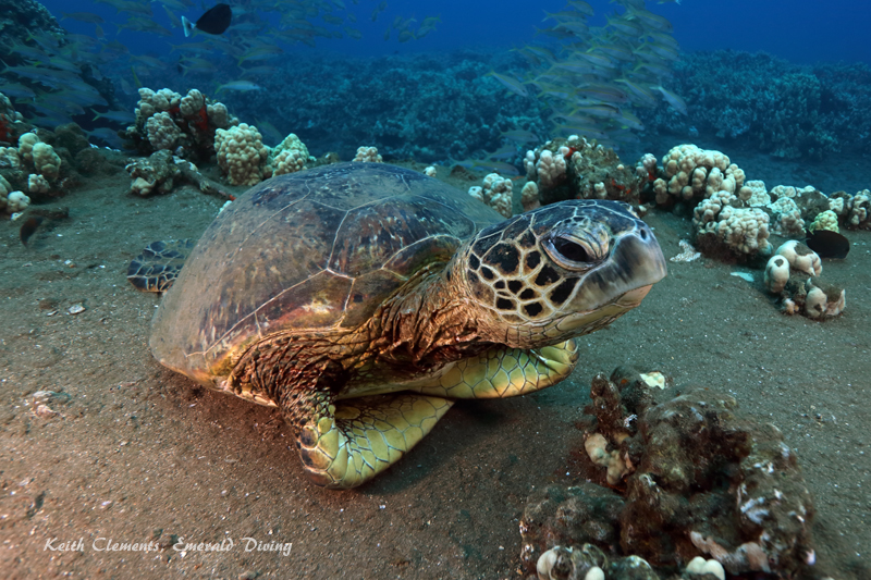 Sea-Turtle_Green_MalaWharfHI_10017