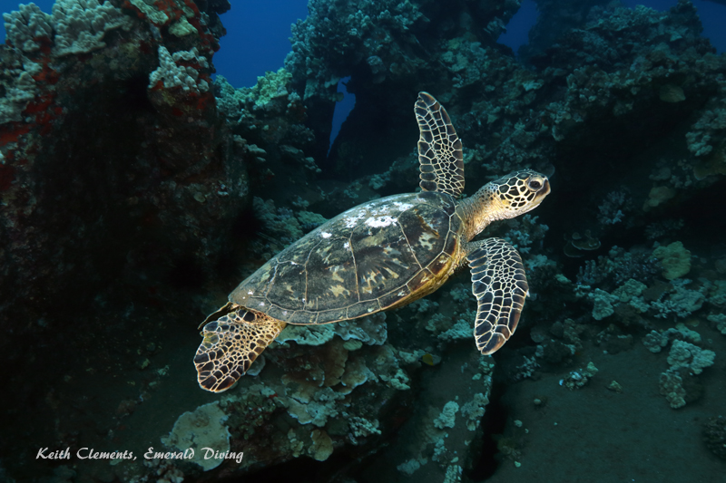 Sea-Turtle_Green_MalaWharfHI_10023