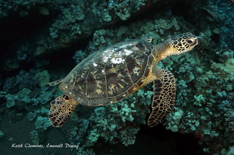Sea-Turtle_Green_MalaWharfHI_10024