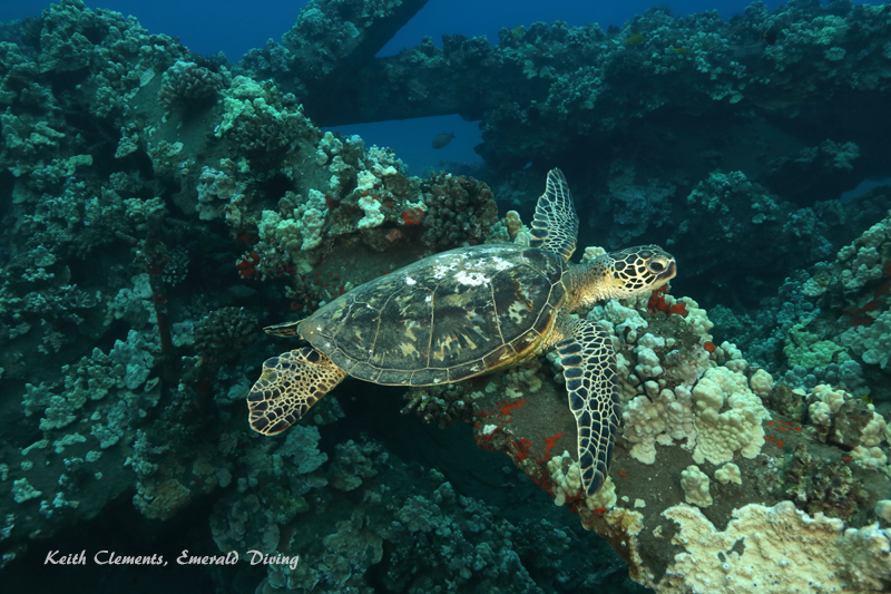 Sea-Turtle_Green_MalaWharfHI_10025