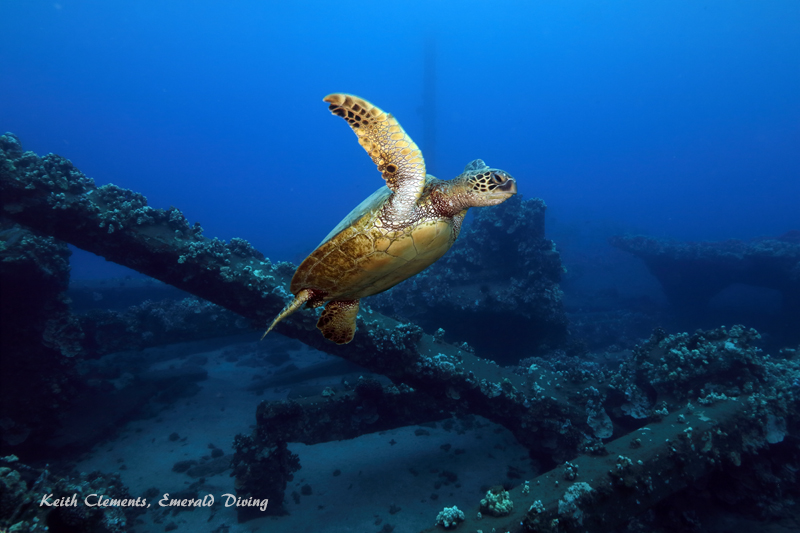 Sea-Turtle_Green_MalaWharfHI_10026