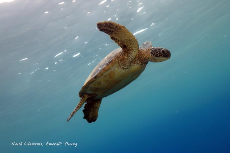 Sea-Turtle_Green_MalaWharfHI_10028