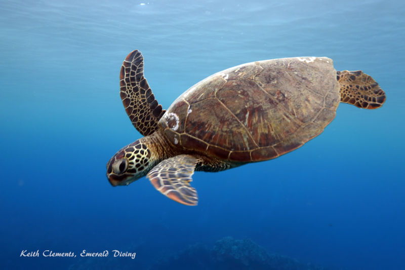Sea-Turtle_Green_MalaWharfHI_10029