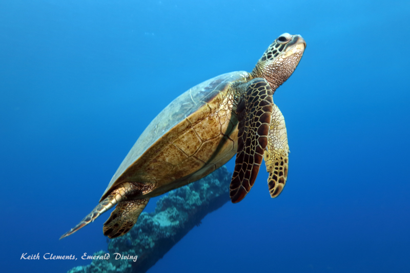 Sea-Turtle_Green_MalaWharfHI_10031