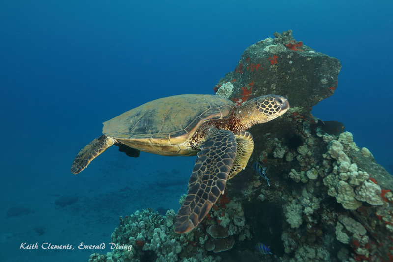 Sea-Turtle_Green_MalaWharfHI_10036