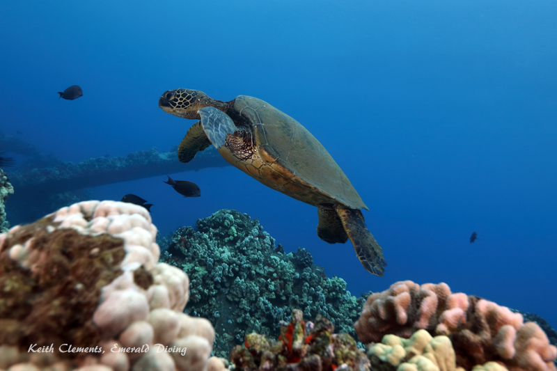 Sea-Turtle_Green_MalaWharfHI_10037