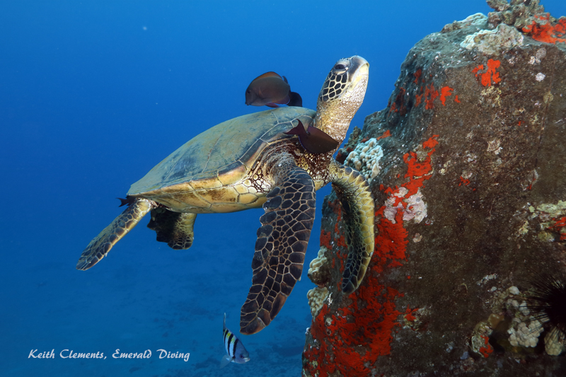 Sea-Turtle_Green_MalaWharfHI_10042