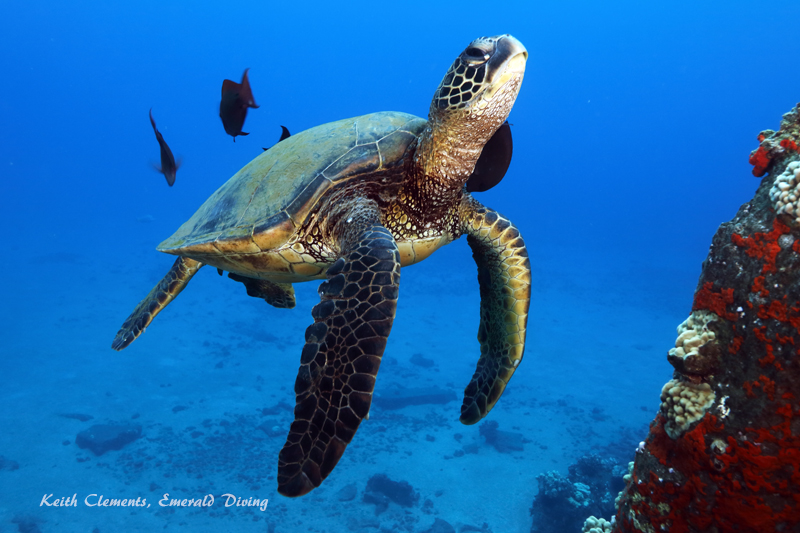 Sea-Turtle_Green_MalaWharfHI_10044